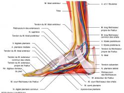 Anatomie médiale de la cheville
